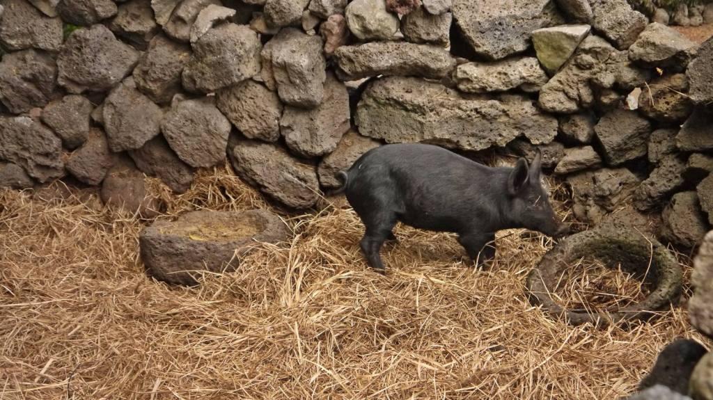 Jeju island black pig south korea