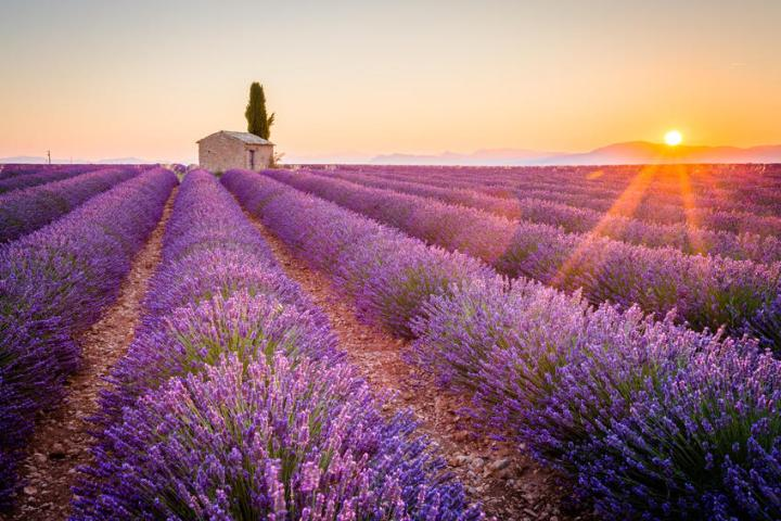 Lavender fields in Provence (Source: www.pariscityvision.com)